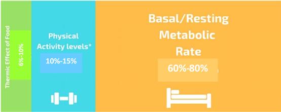 體力活動能量消耗︰10-15%基礎/靜息代謝率︰60-80% 食物熱效應︰6-10%