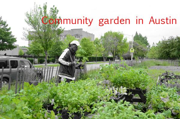 An Austin resident prepares to plant vegetable in her community garden plot. /Seeding Chicago
