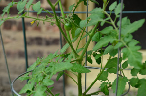 This cherry tomato plant is starting to fruit. /Seeding Chicago