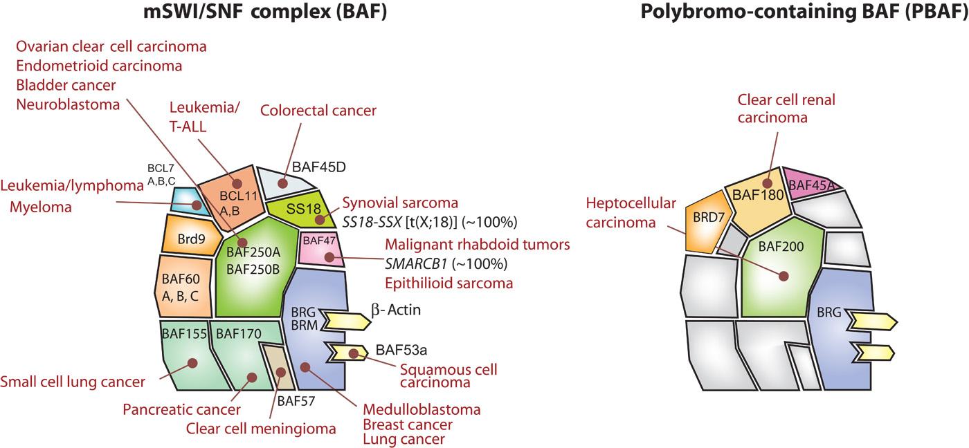 BAFcomplexcancer.jpg