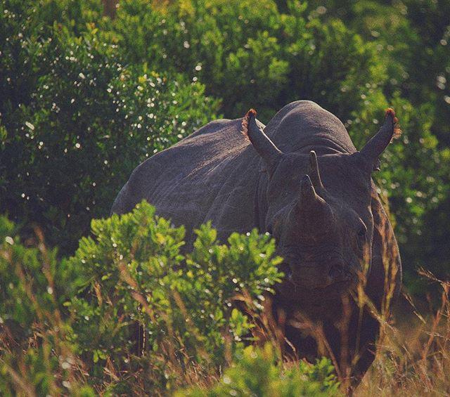 Lurking 🦏 #igkenya #masaimara #Africageographic #natgeo #natgeoyourshot #machonimwangu