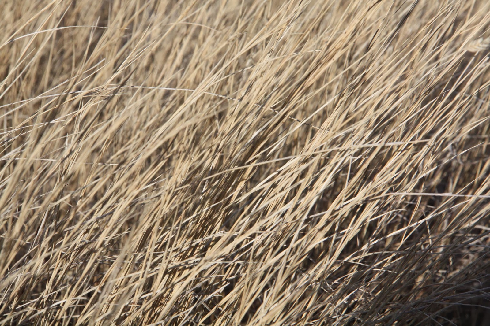 Prairie Grass Lethbridge.JPG