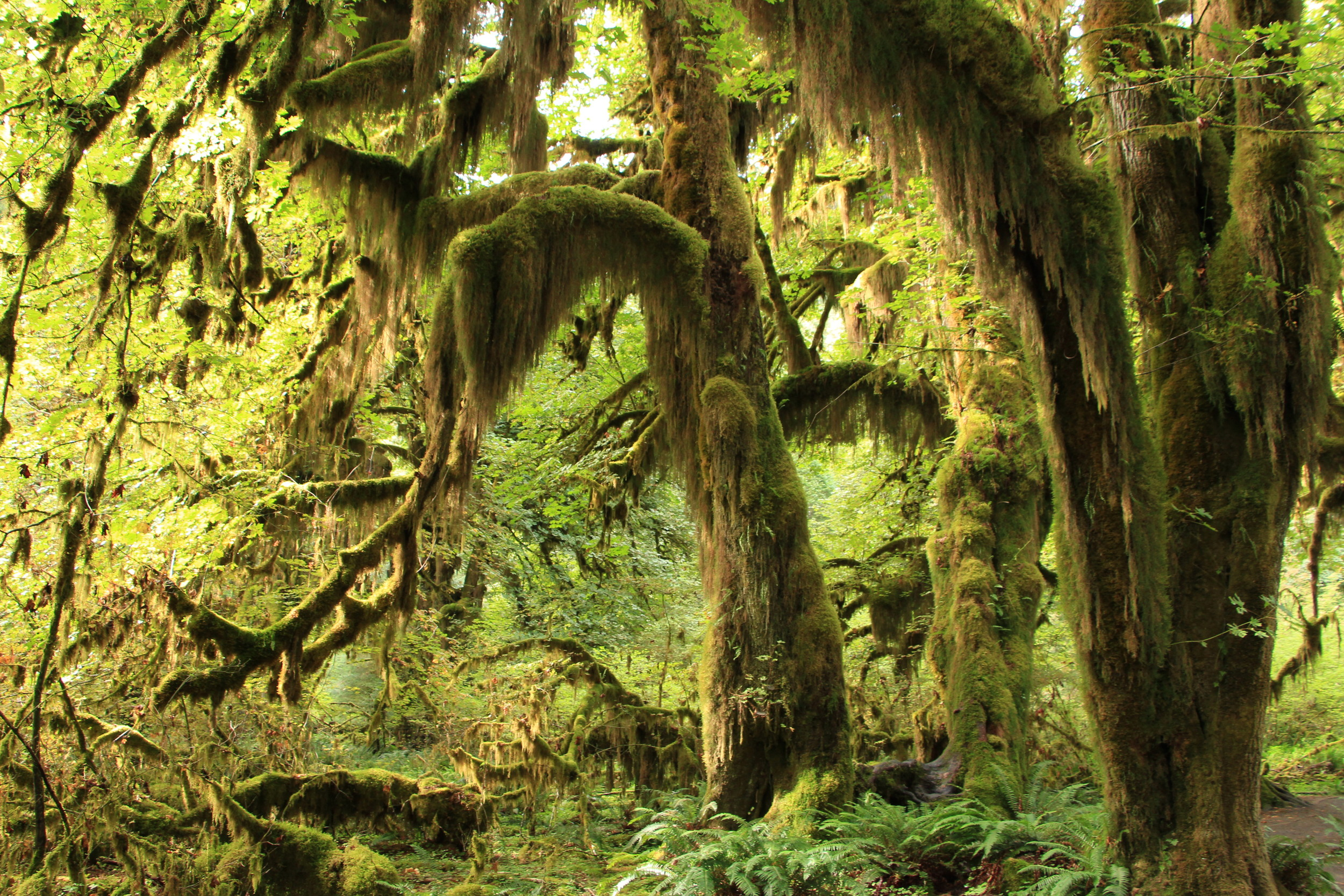 The Ho Rainforest in Olympic National Park, WA