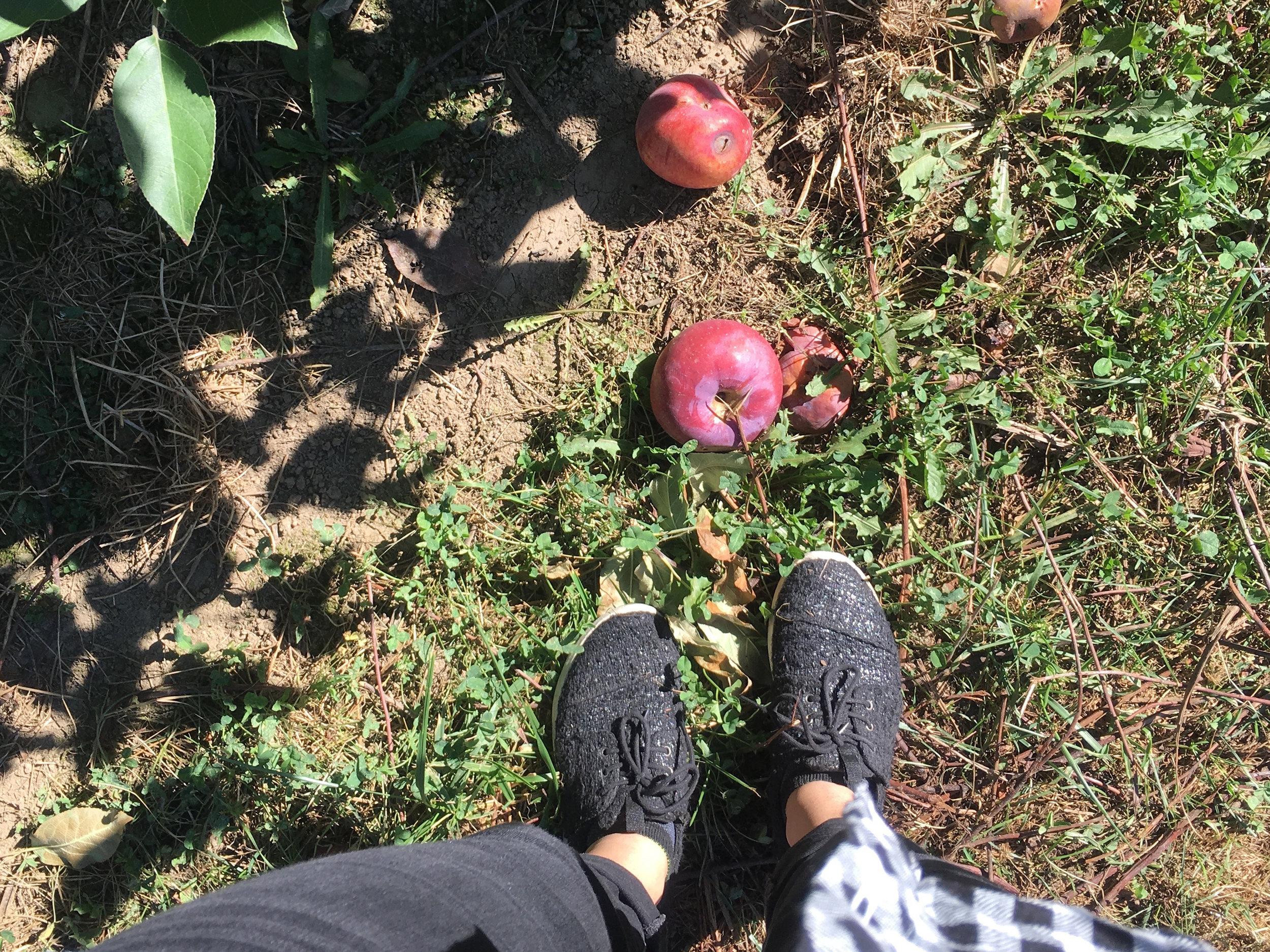Apple Orchard NY.jpg