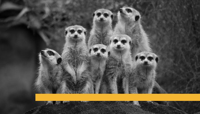 meercats.png