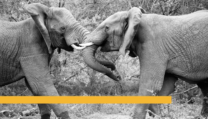 Elephants Fighting.png
