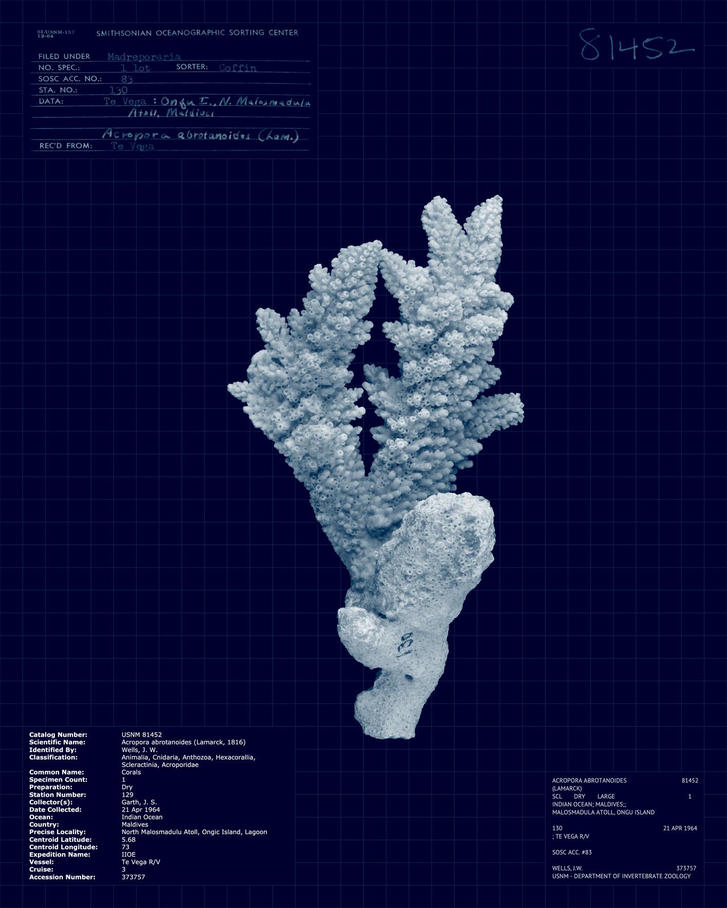 Acropora abrotanoides II.jpg