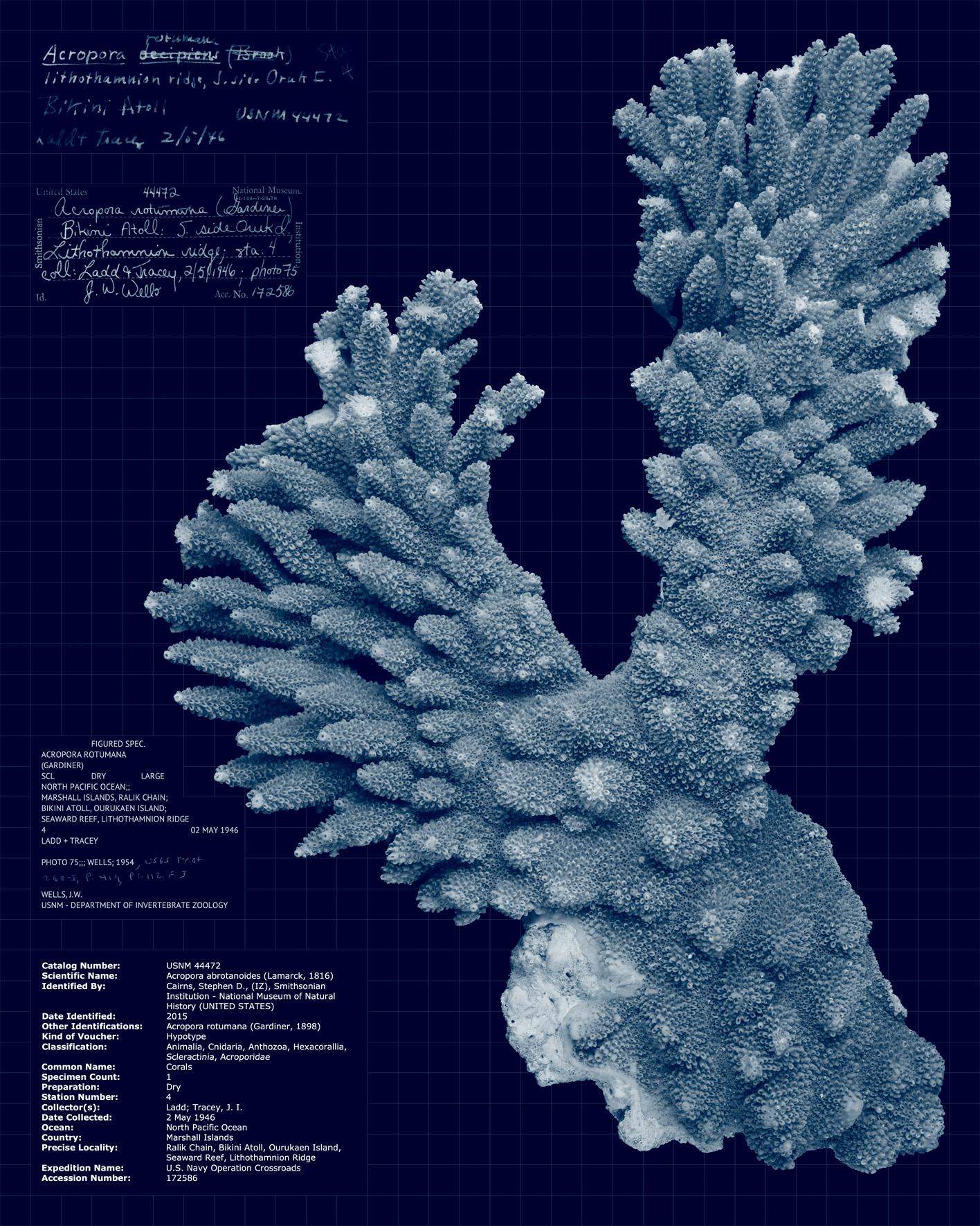 Acropora abrotanoides.jpg