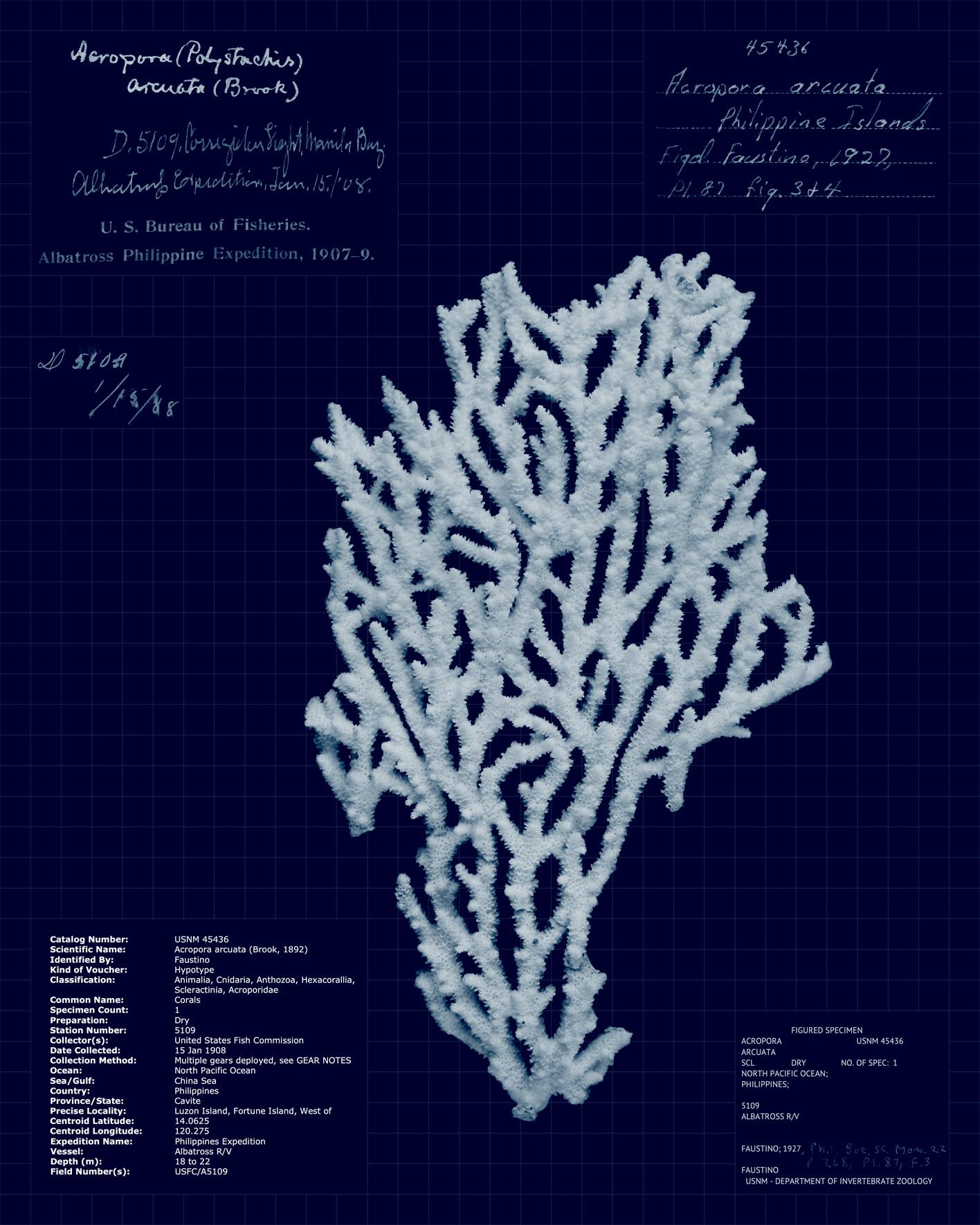 Acropora arcuata.jpg