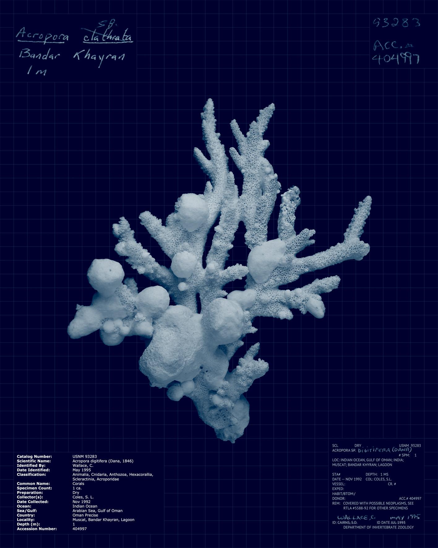Acropora digitifera.jpg