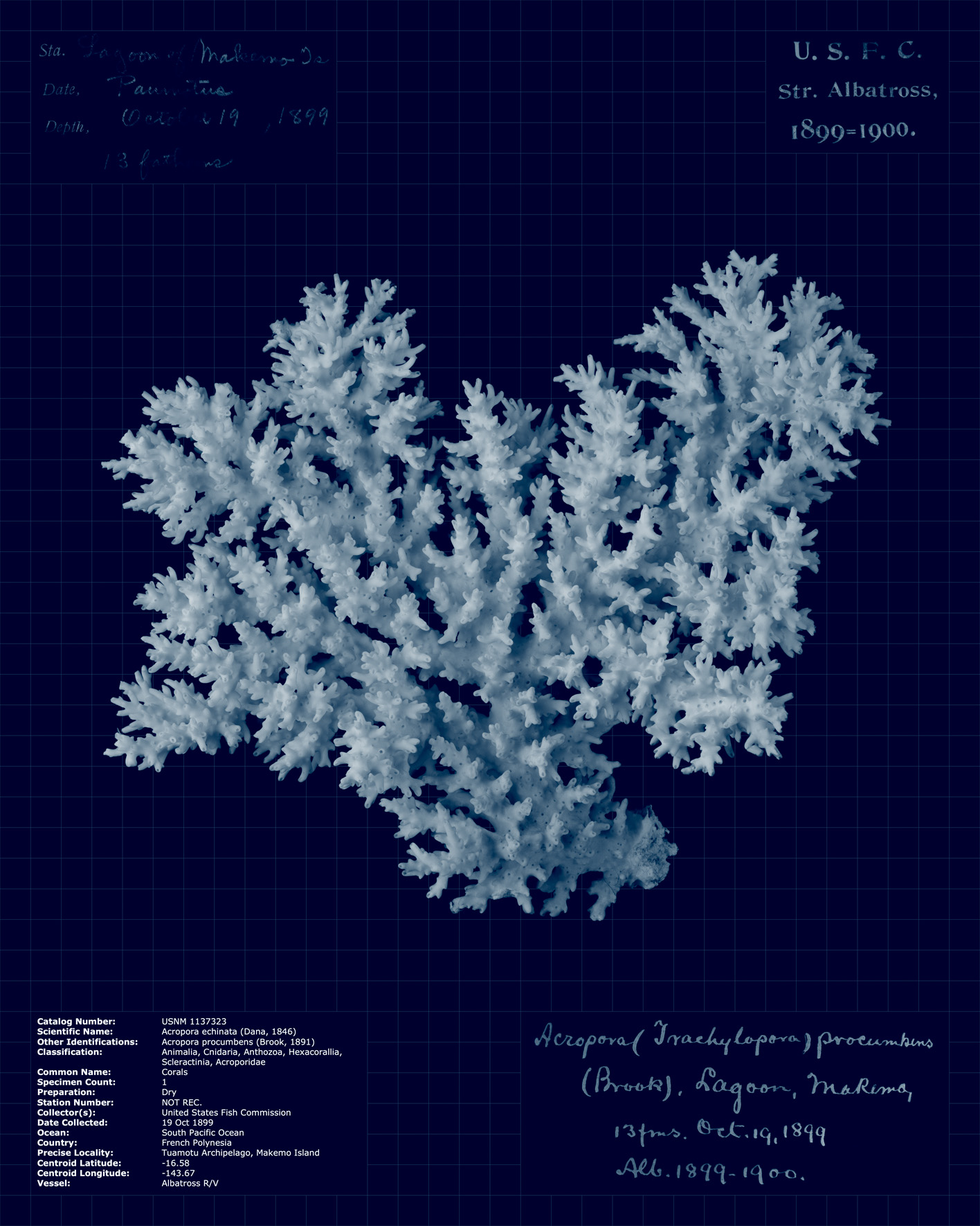 Acropora echinata.jpg