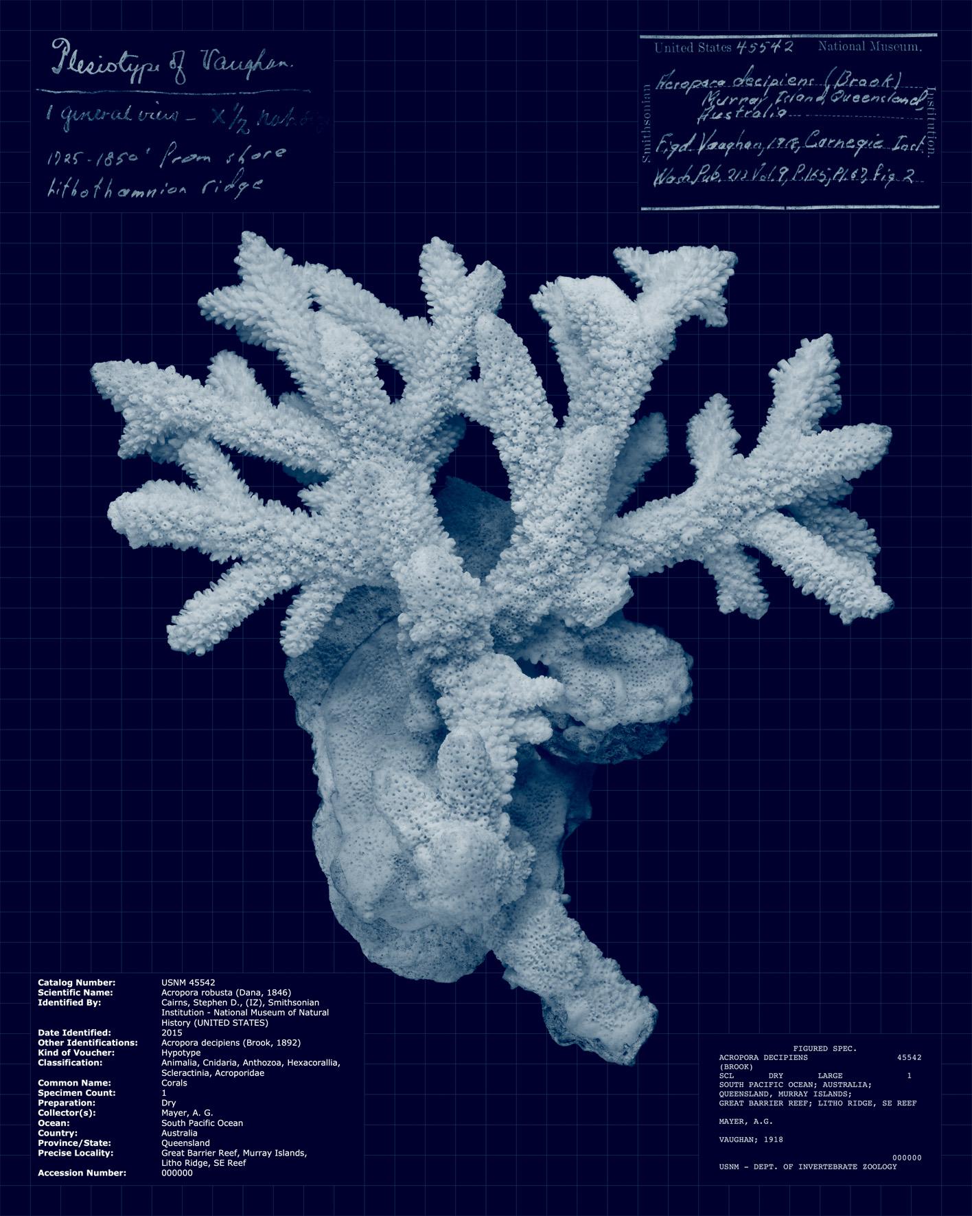 Acropora robusta.jpg