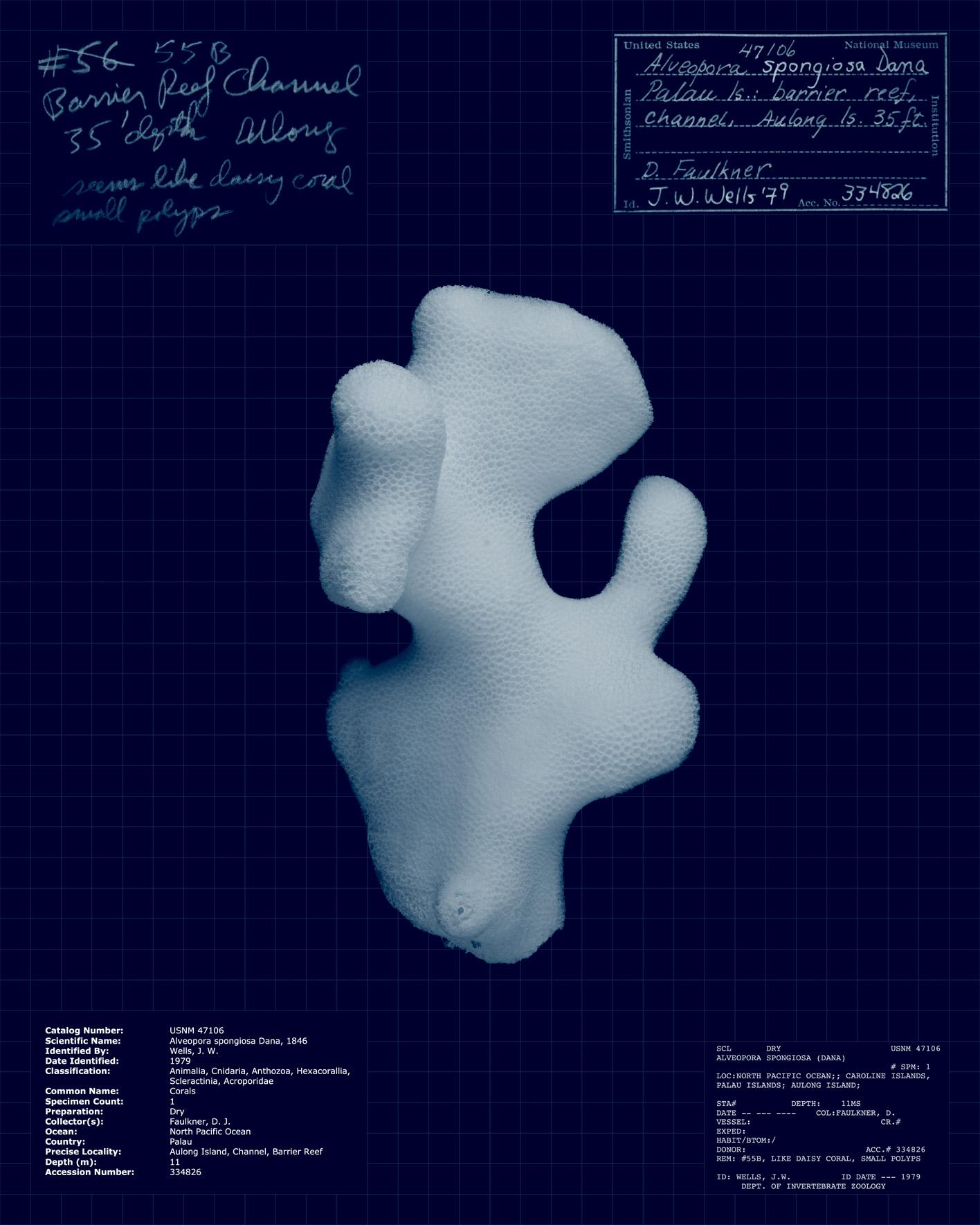 Alvepora spongiosa.jpg