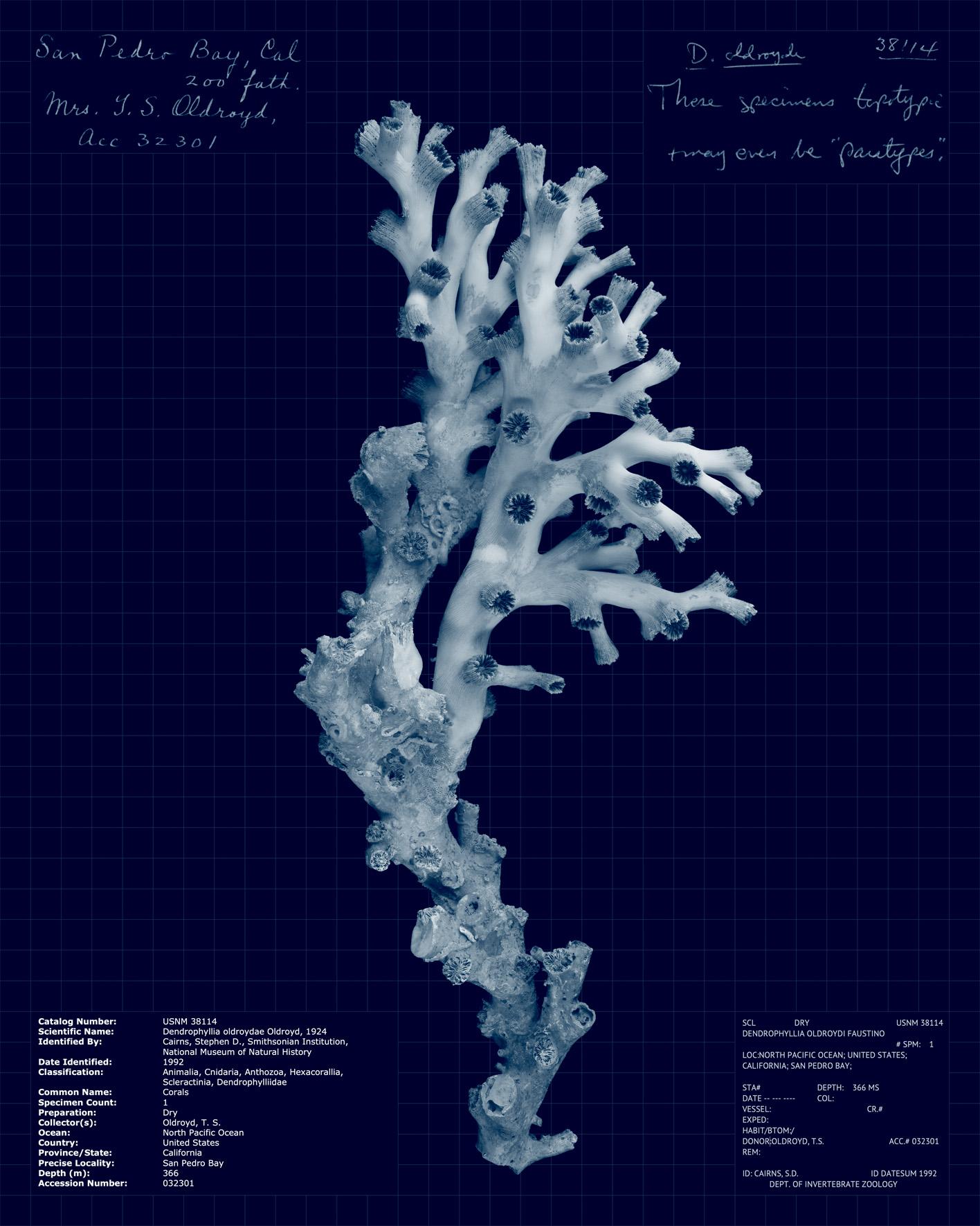 Dendrophyllia oldroydae.jpg