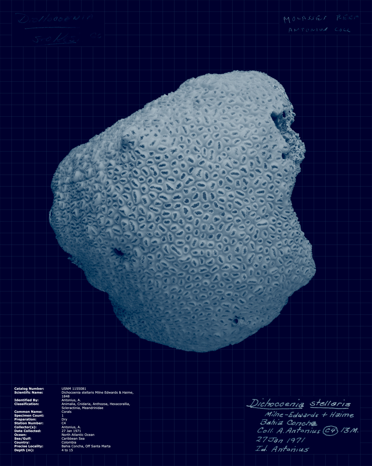 Dichocoenia stellaris.jpg