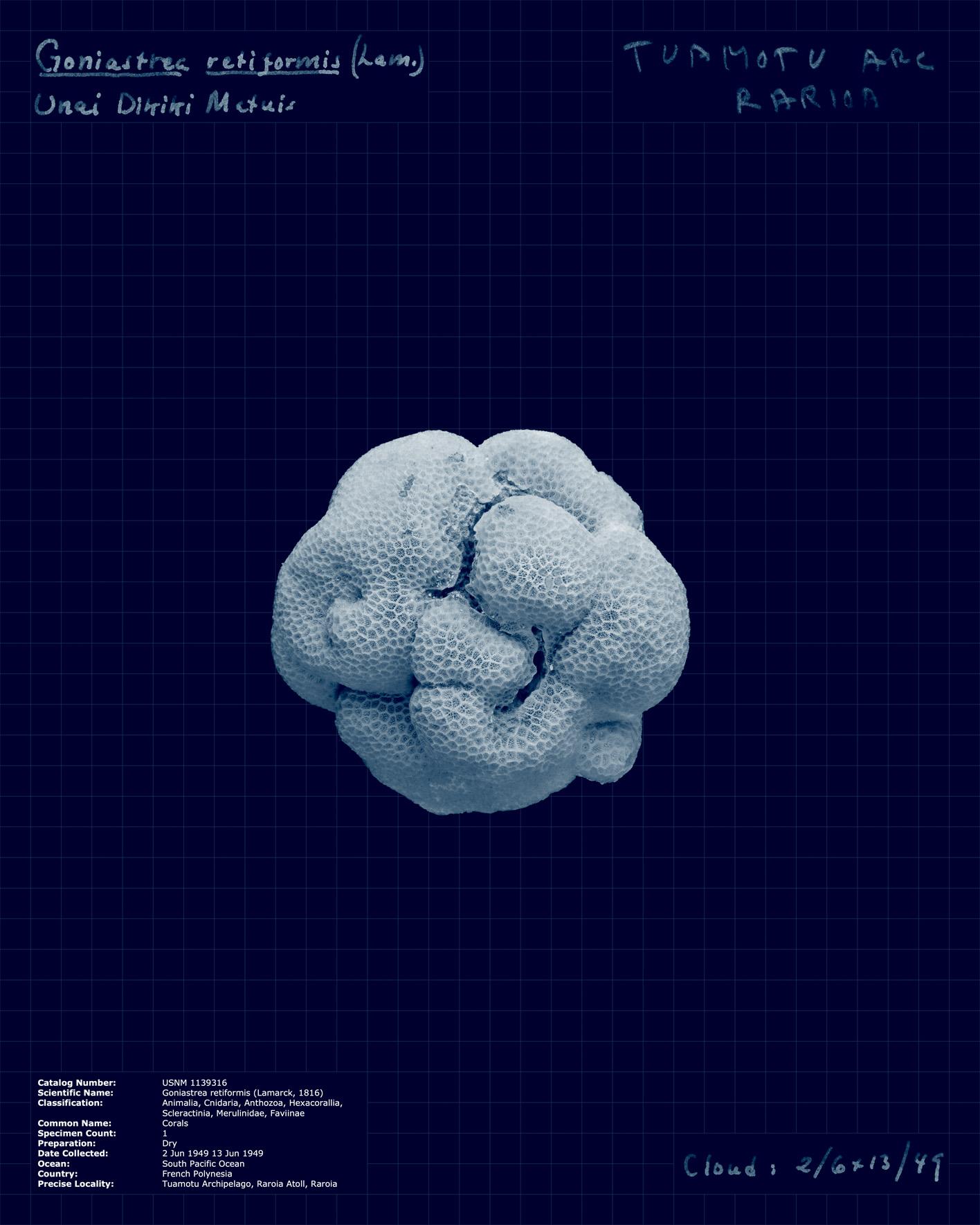 Goniastrea retiformis.jpg