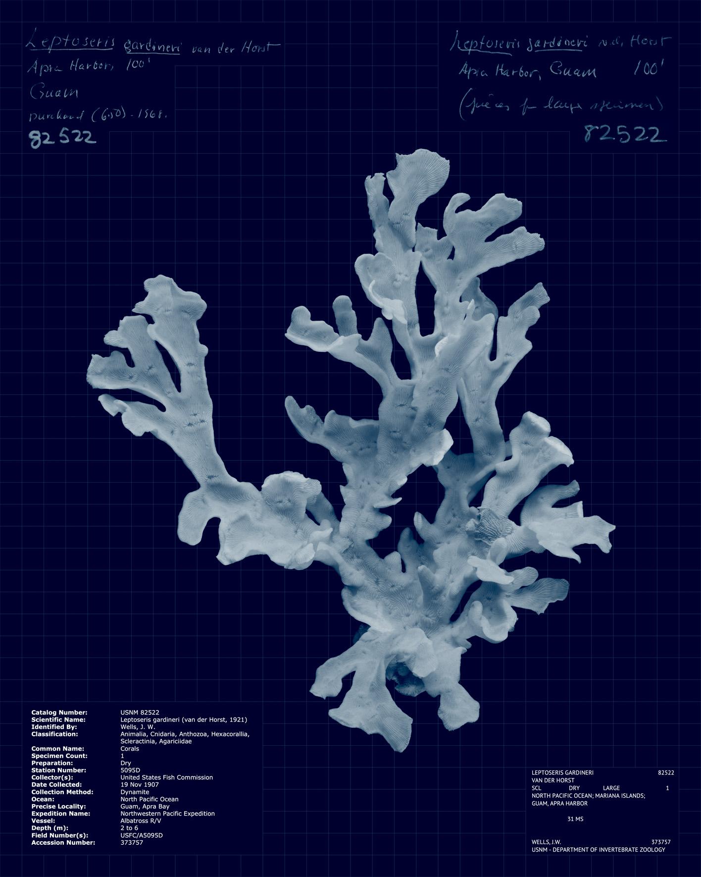 Leptoseris gardineri.jpg