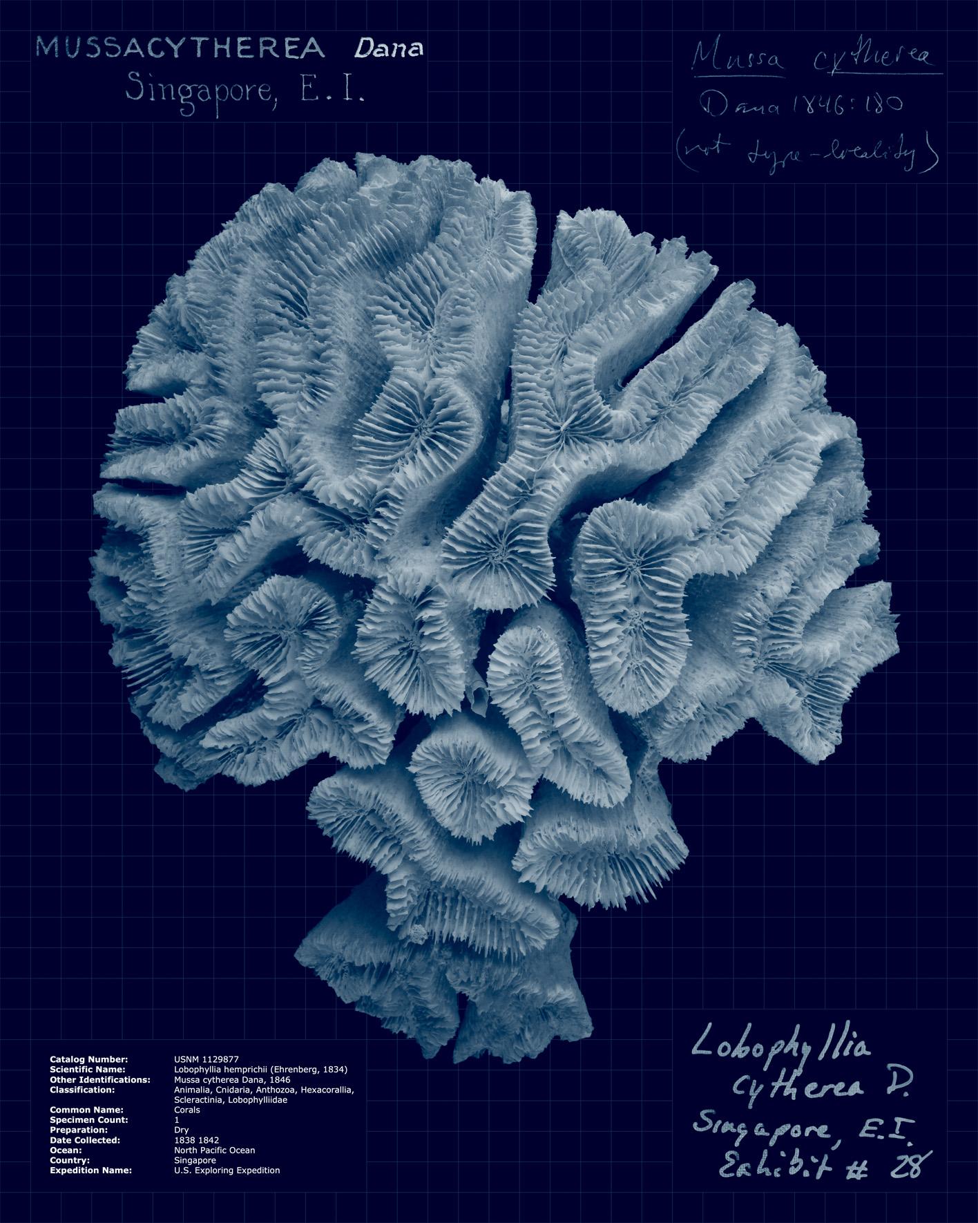 Lobophyllia hemprichii.jpg