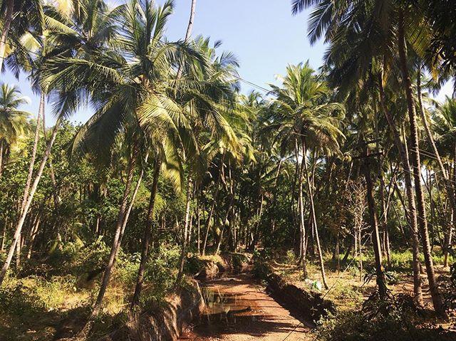 My ancestors are from the trees  #goa #india #coconutpalms #travel #travelgoa #southindia #westcoast #film #adoptionfilm #adoptee #femmefilmmaker