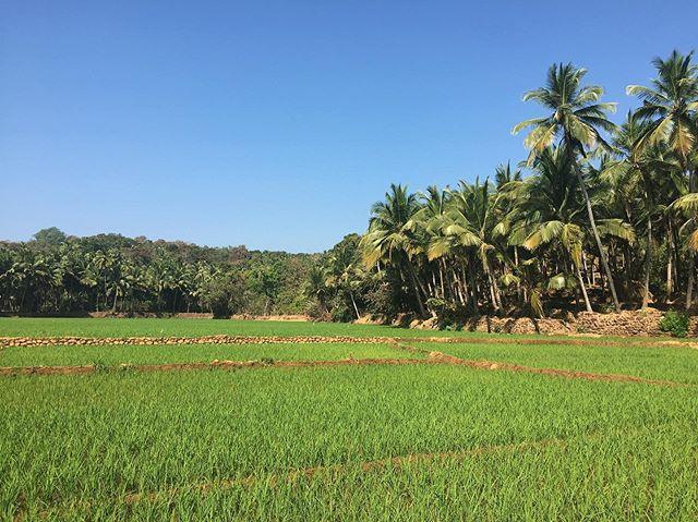 Rice fields  #youfollowthefilm #southgoa #india #rice #palmtrees #travelindia #asia #solotravel #travelpics #indiapics #ricefields