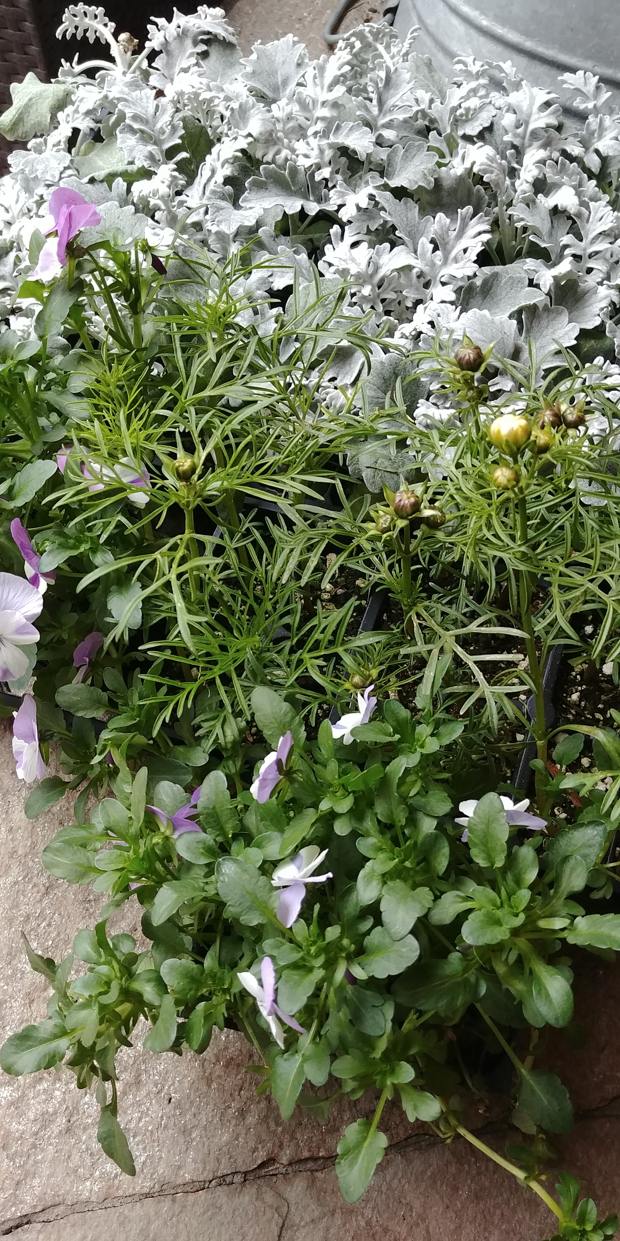 Pansies, Cosmos and Dusty Miller