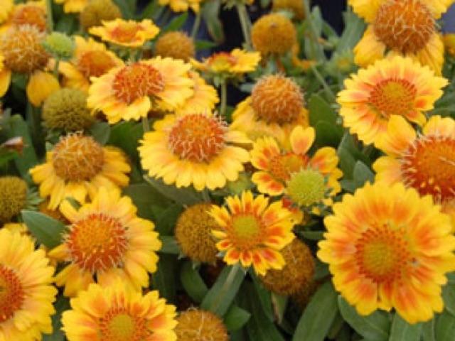 Indian Blanket Flower: Gallo Peach - Gailardia aristataLikes: SunBlooms: June - September