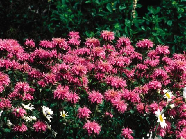 Bee Balm - Monarda - Marshalls DelightLikes: Sun/Partial ShadeBlooms: July - August
