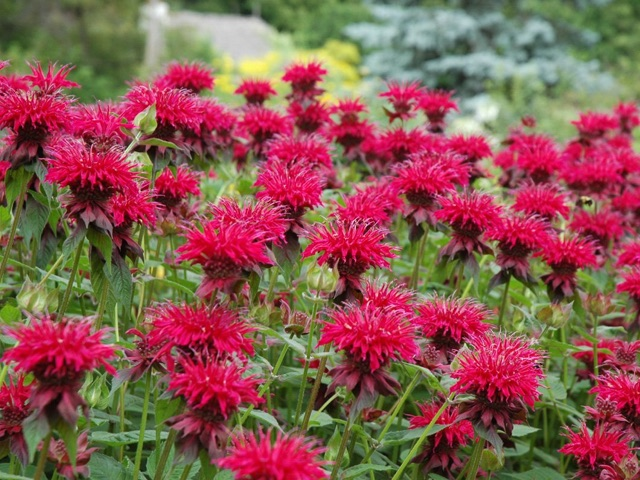 Bee Balm - Monarda - Raspberry WineLikes: Sun/Partial ShadeBlooms: July - August
