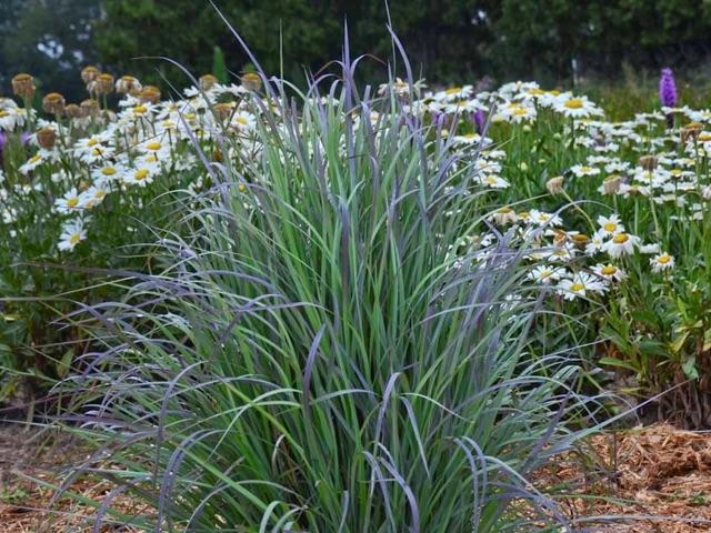 Blue Bluestem - Schizachyrium scopariumLikes: Sun/Parrtial ShadeBlooms: September
