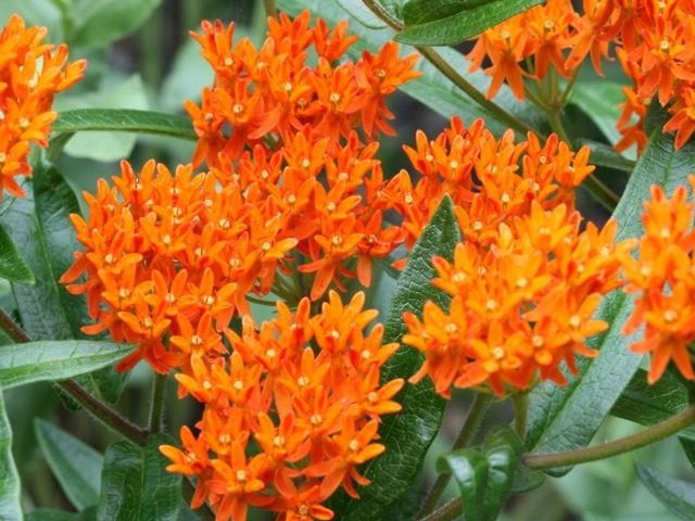 Butterfly Weed - Asclepias tuberosaLikes: Full SunBlooms: July - August