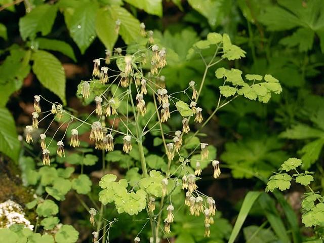 Early Meadow Rue - Thalictrum dioicumLikes: Partial ShadeBlooms: June