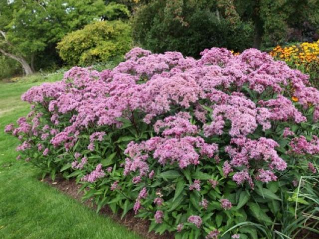 Joe Pye Weed - Eupatorium maculatumLikes: SunBlooms: August - September