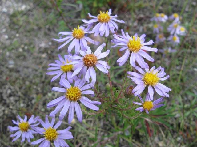 Stiff Leaved Aster - Aster linariifoliusLikes: Sun/Partial ShadeBlooms: September