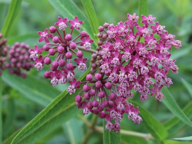 Swamp Milkweed - Asclepias incarnataLikes: Full SunBlooms: June - August