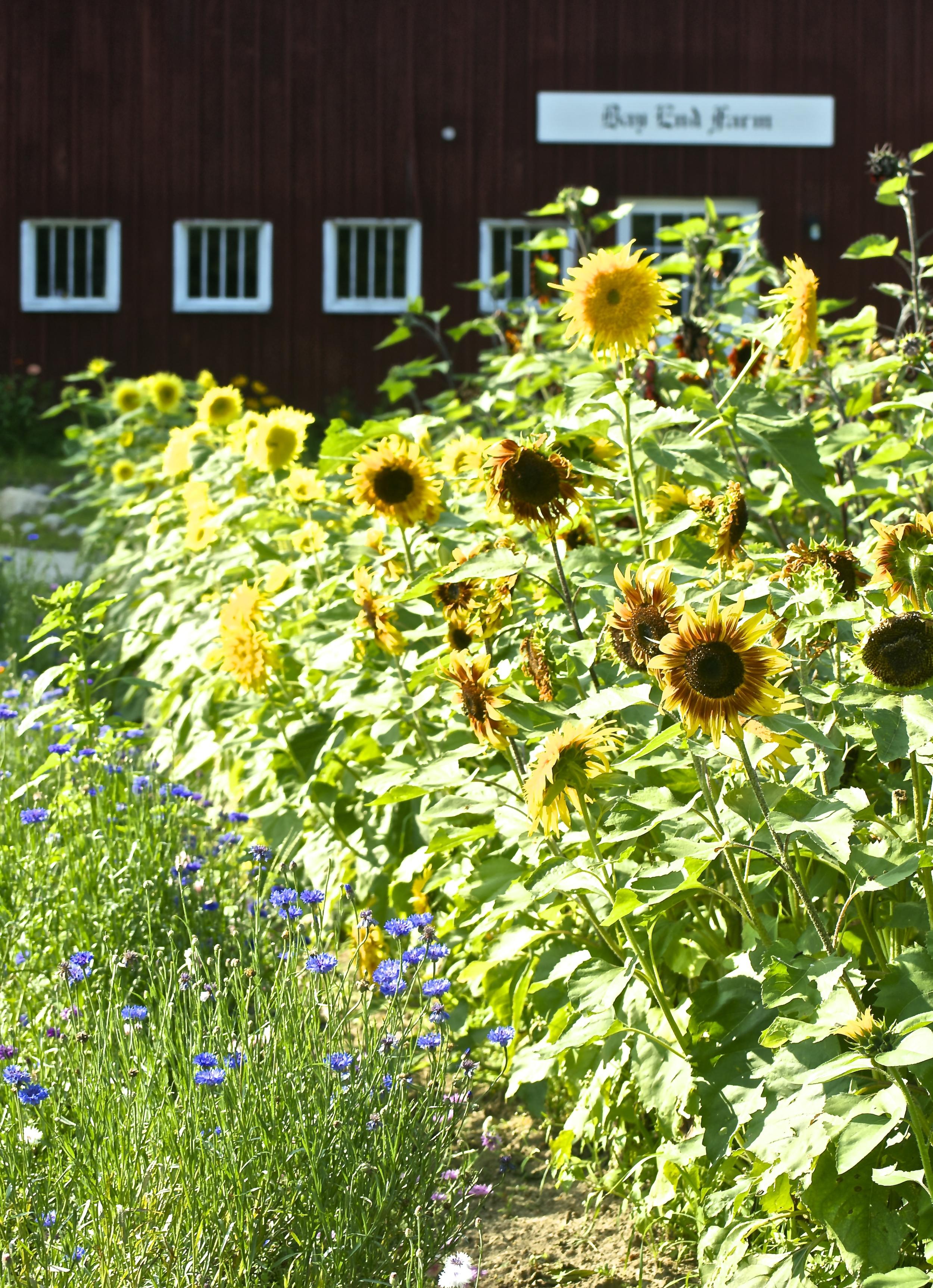 sunflowerfarmbef.jpg