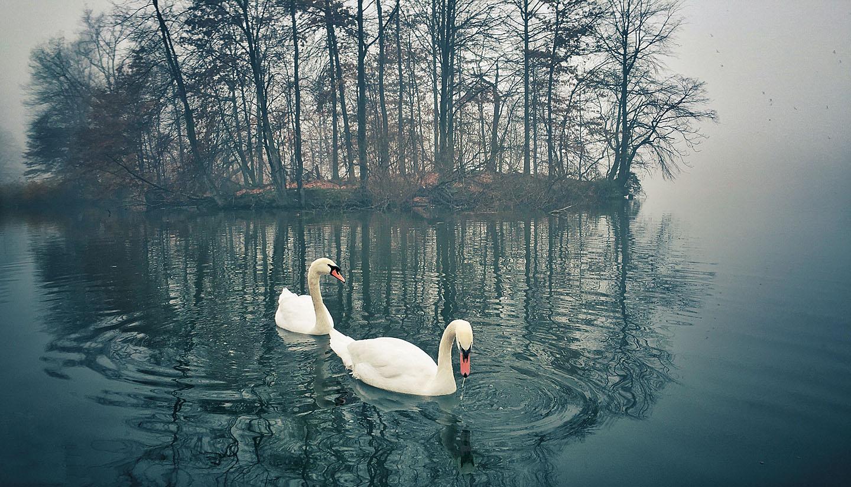 """Swans I"""