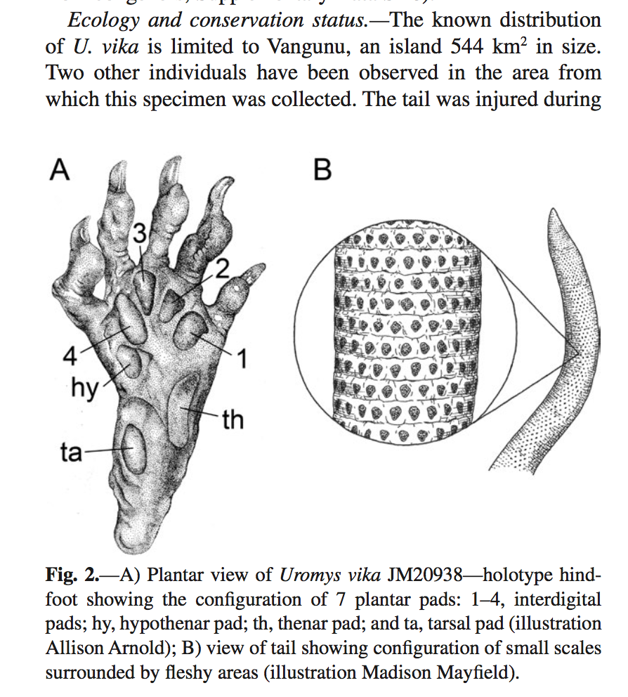 My Vangunu Rodent tail illustration as featured in the publication in the Journal of Mammalogy.