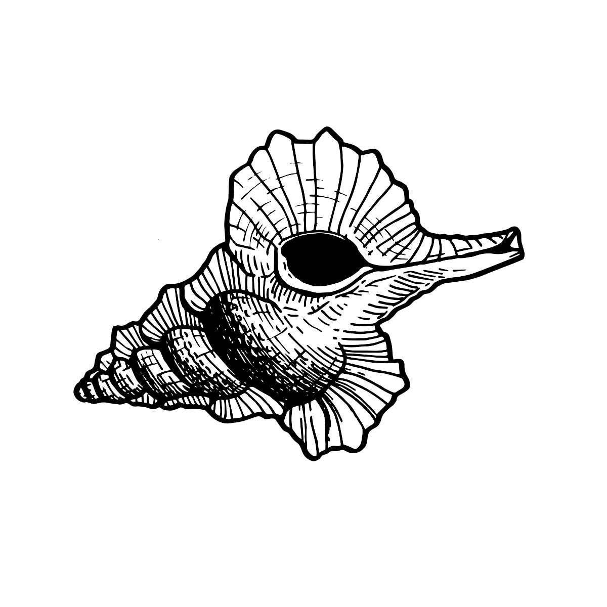 Kookaburra Whelk