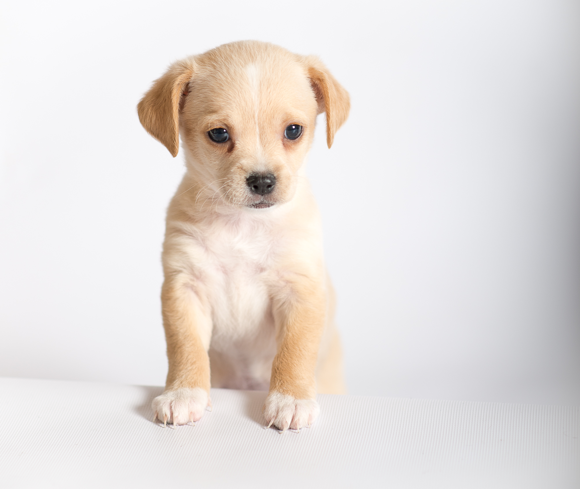 An untrained puppy. Posing for the camera