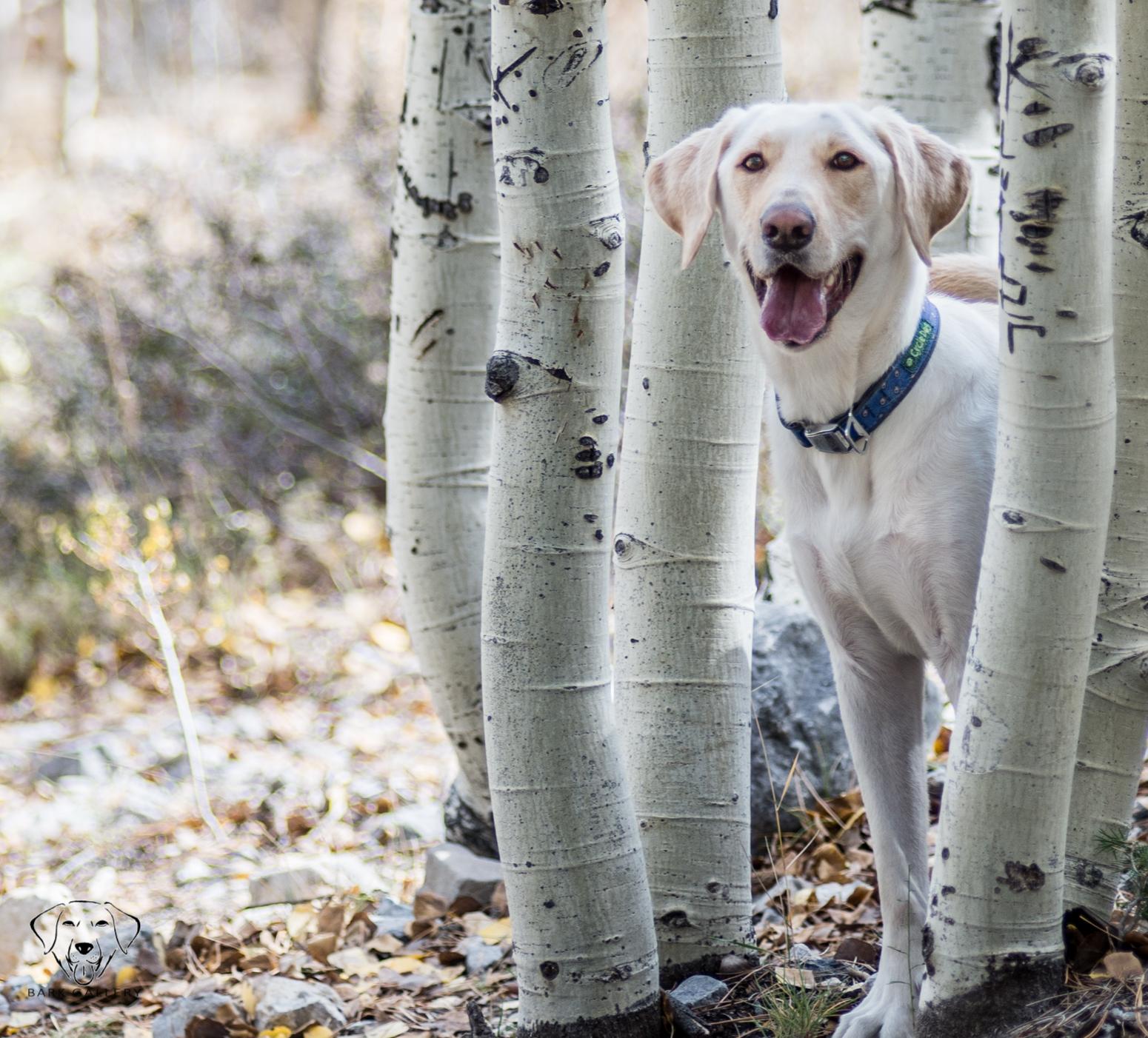 labrador-portrait-henderson-nevada