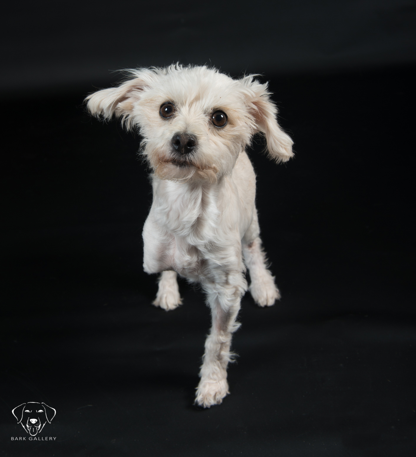 Rescue Adoption Portrait. A three legged dog that was available for adoption at  Wagging Tails Rescue