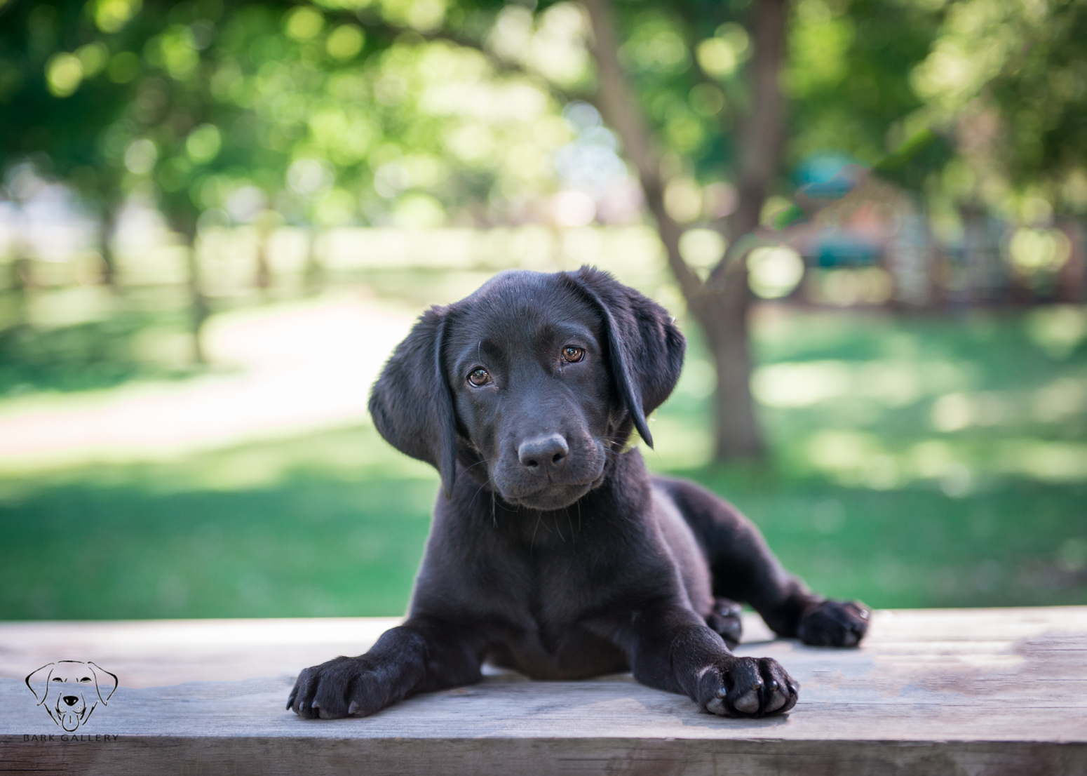 labrador-dog-photograph-portrait-vierkandt