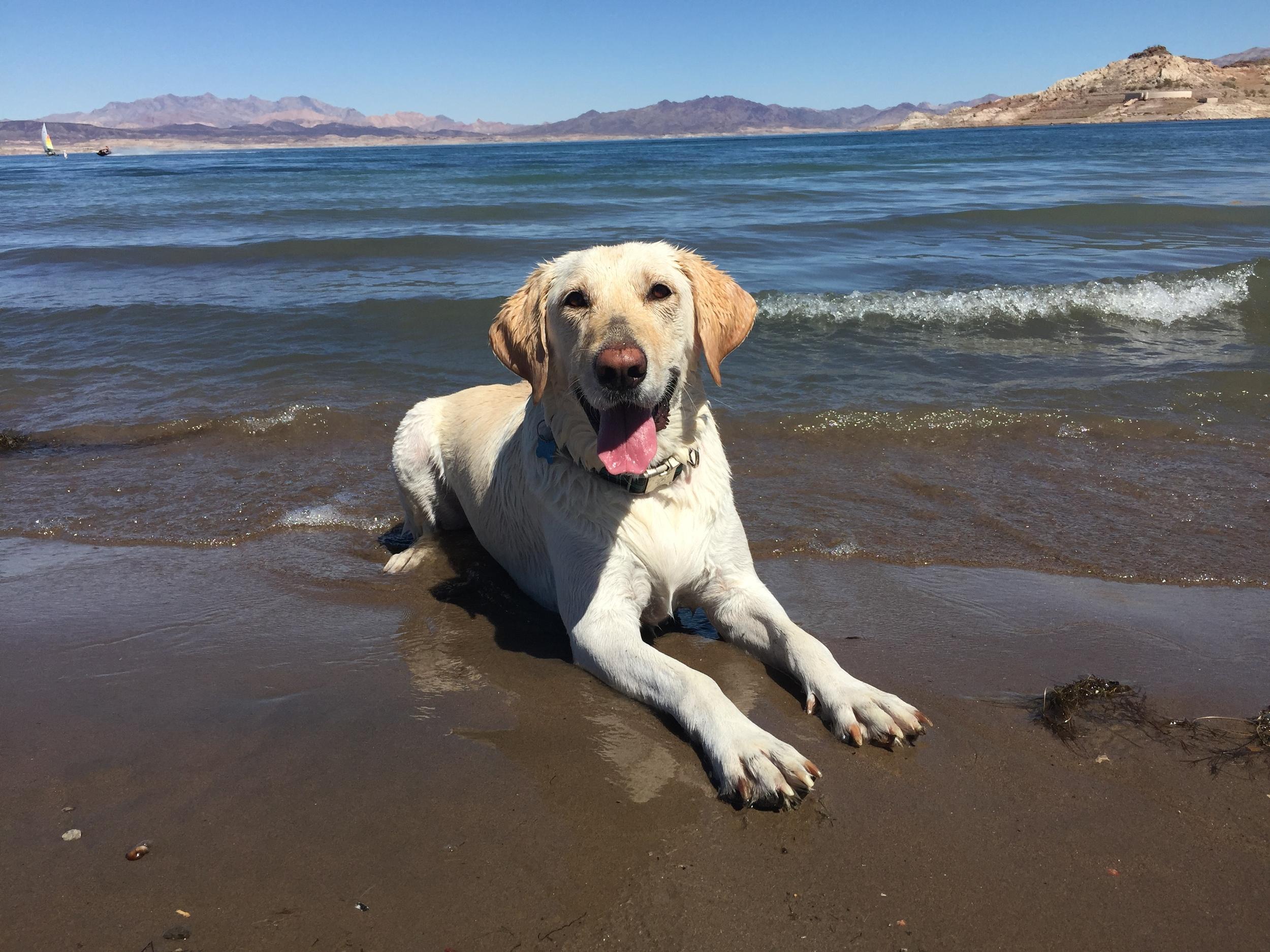 Bear enjoying Lake Mead - iPhone photo.