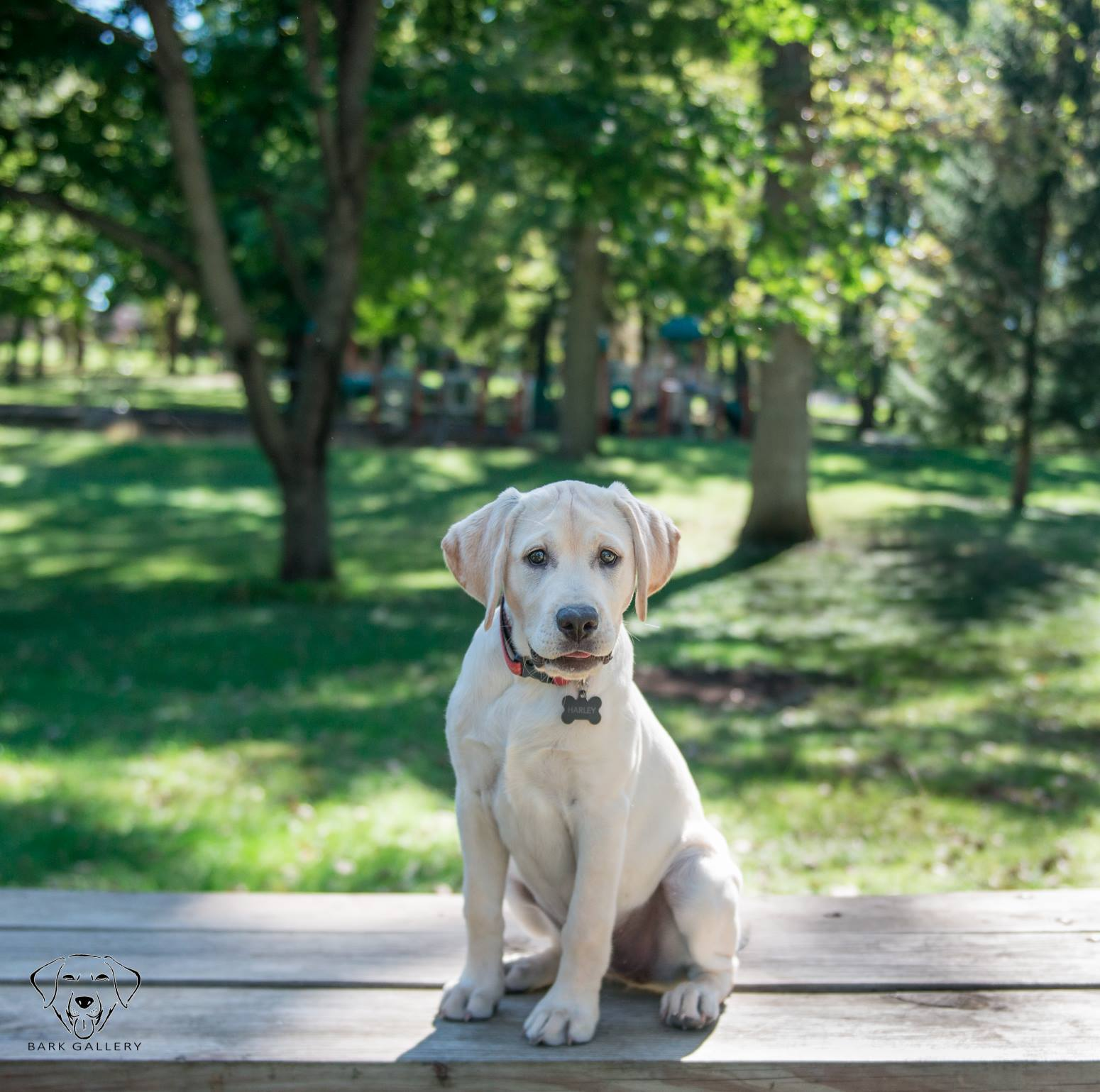 puppy-labrador-las-vegas