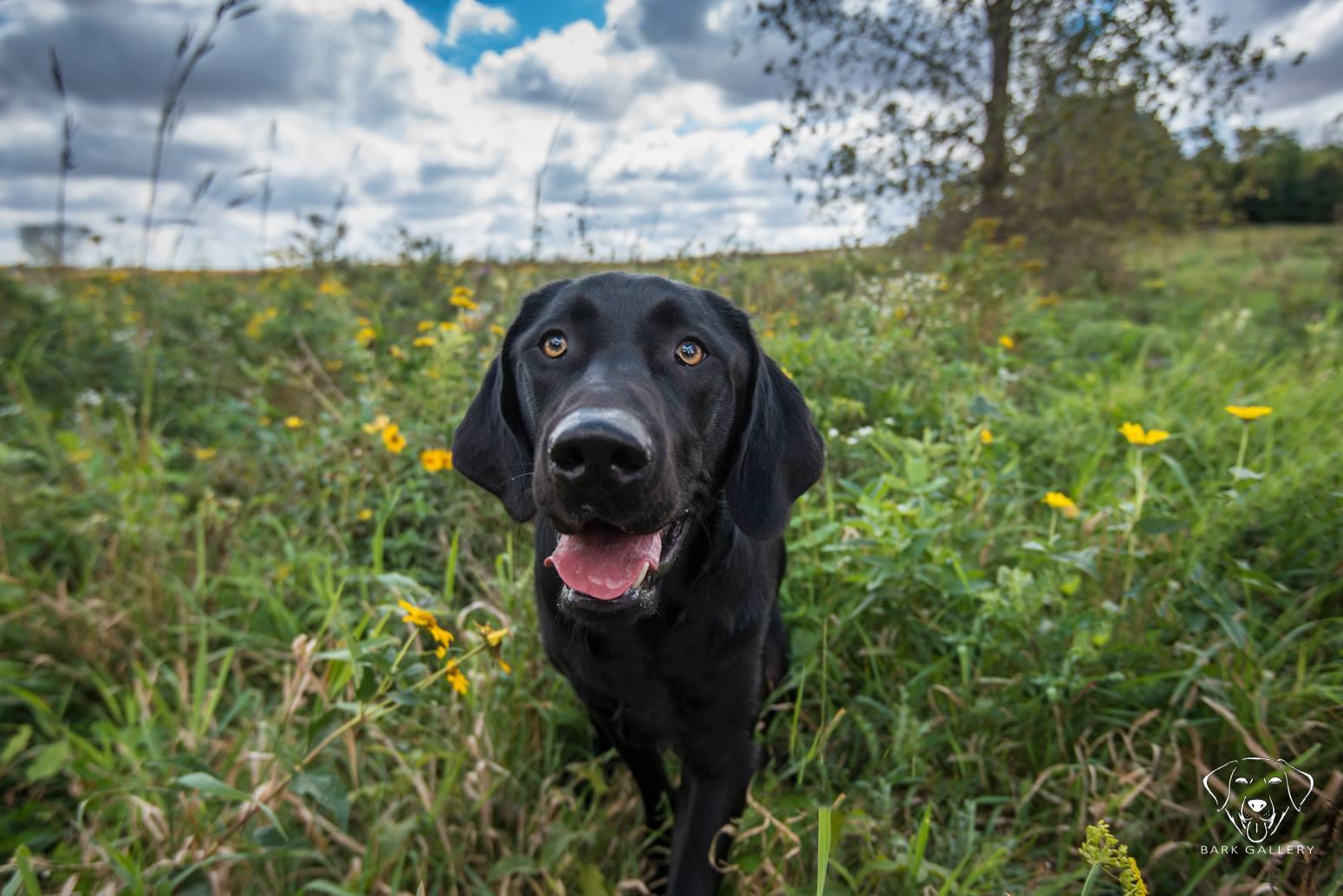 black-labrador-top-breed