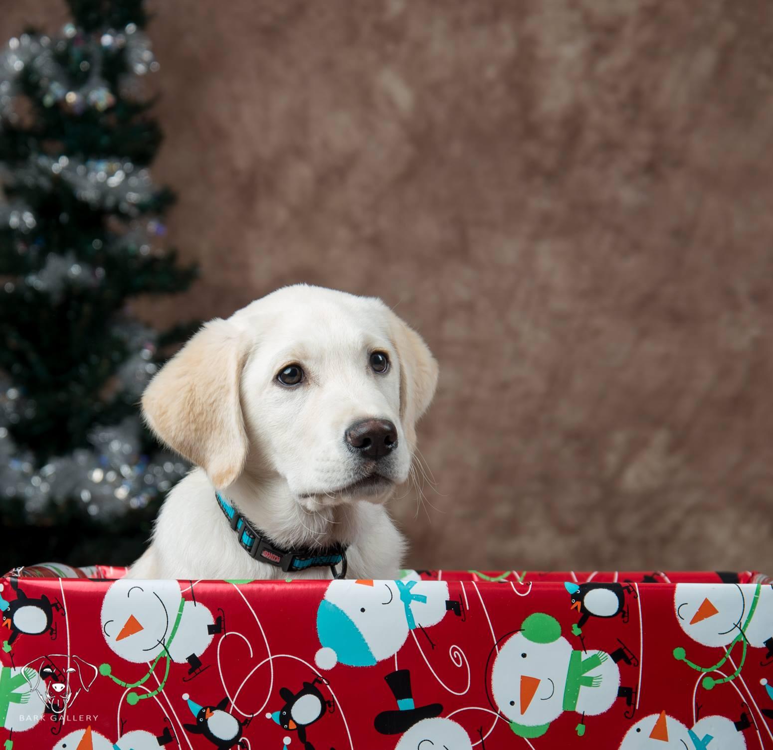 labrador-yellow-puppy