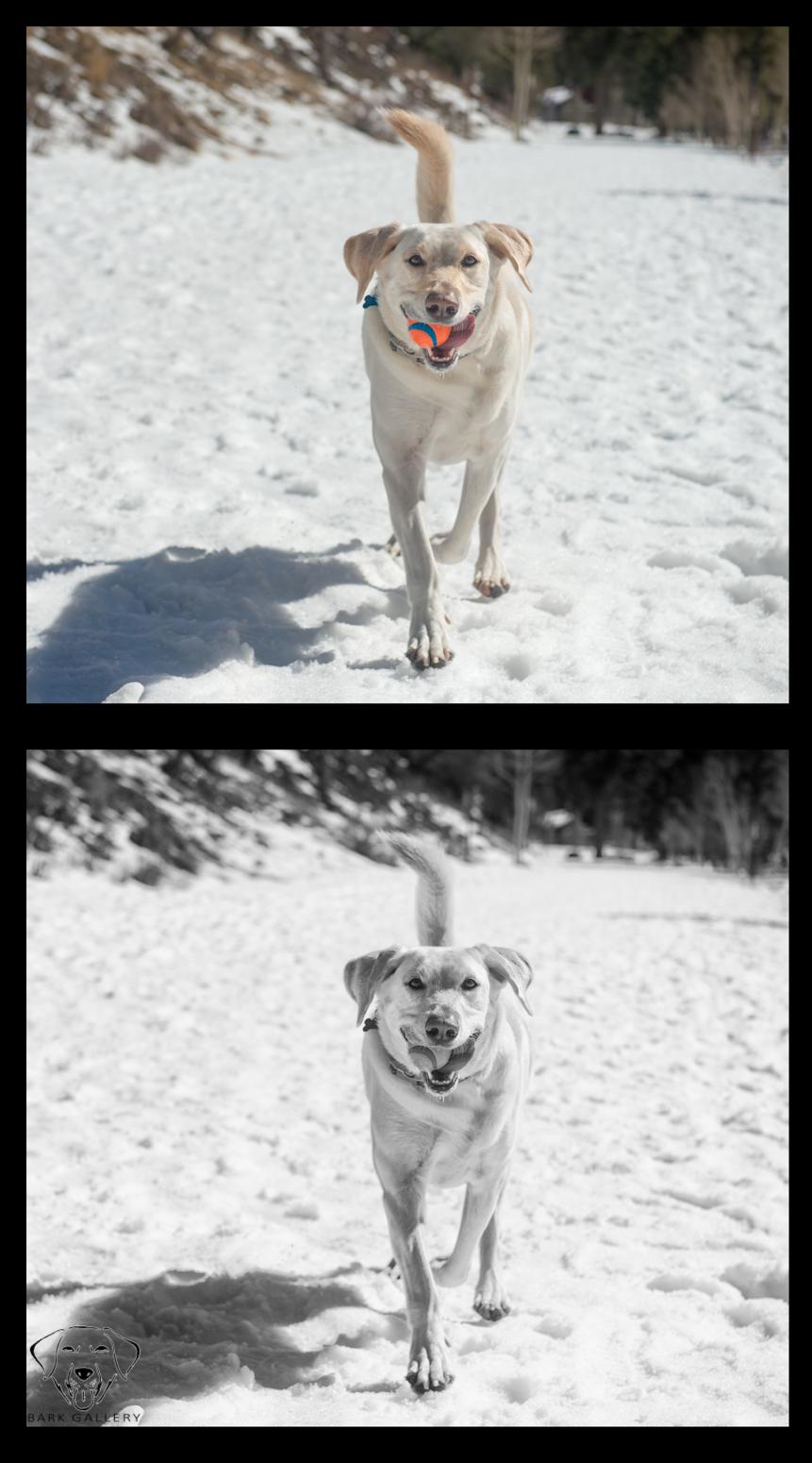 bear-bark-gallery-bw-color-comparison