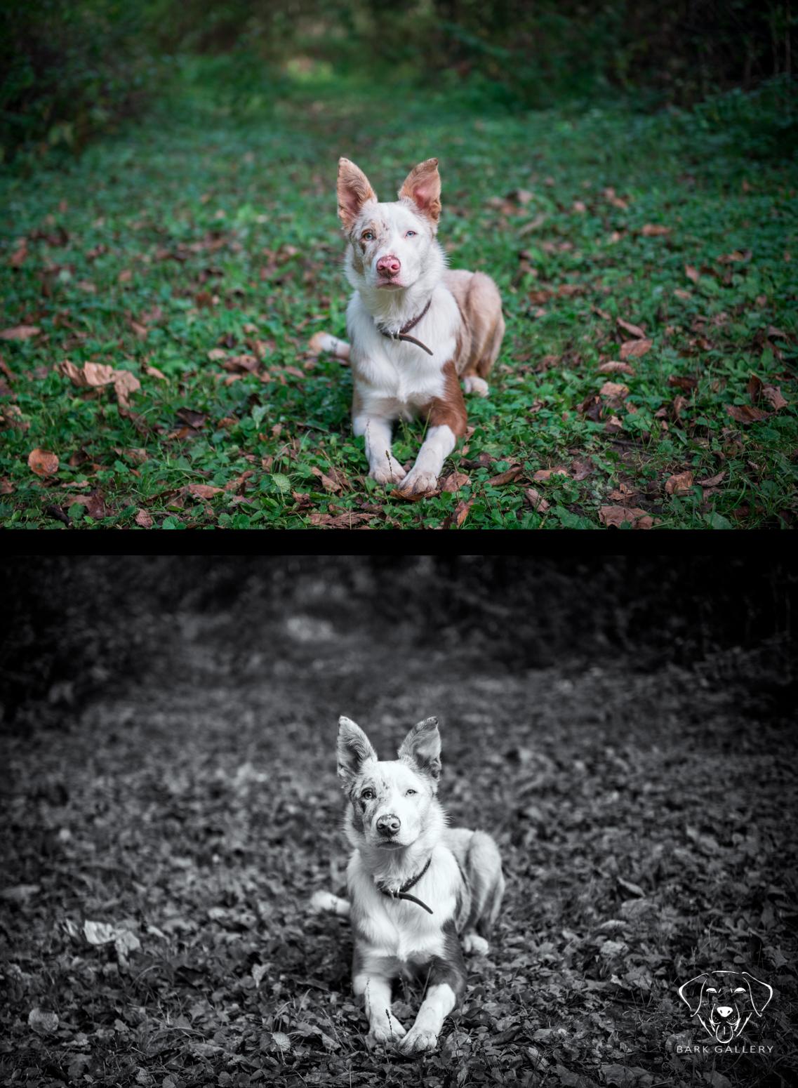 comparison-black-white-dog