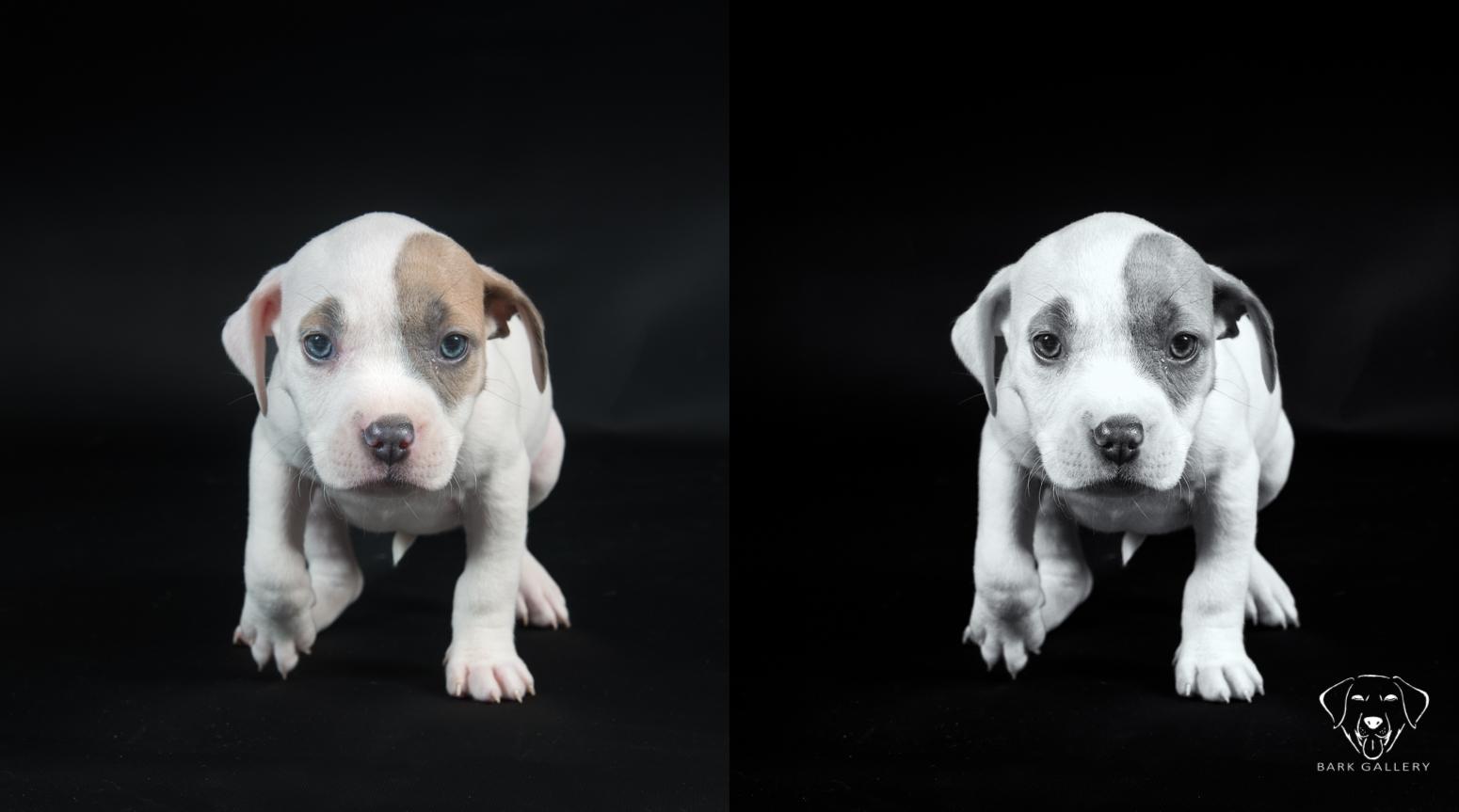 dog-studio-portrait-black-and-white