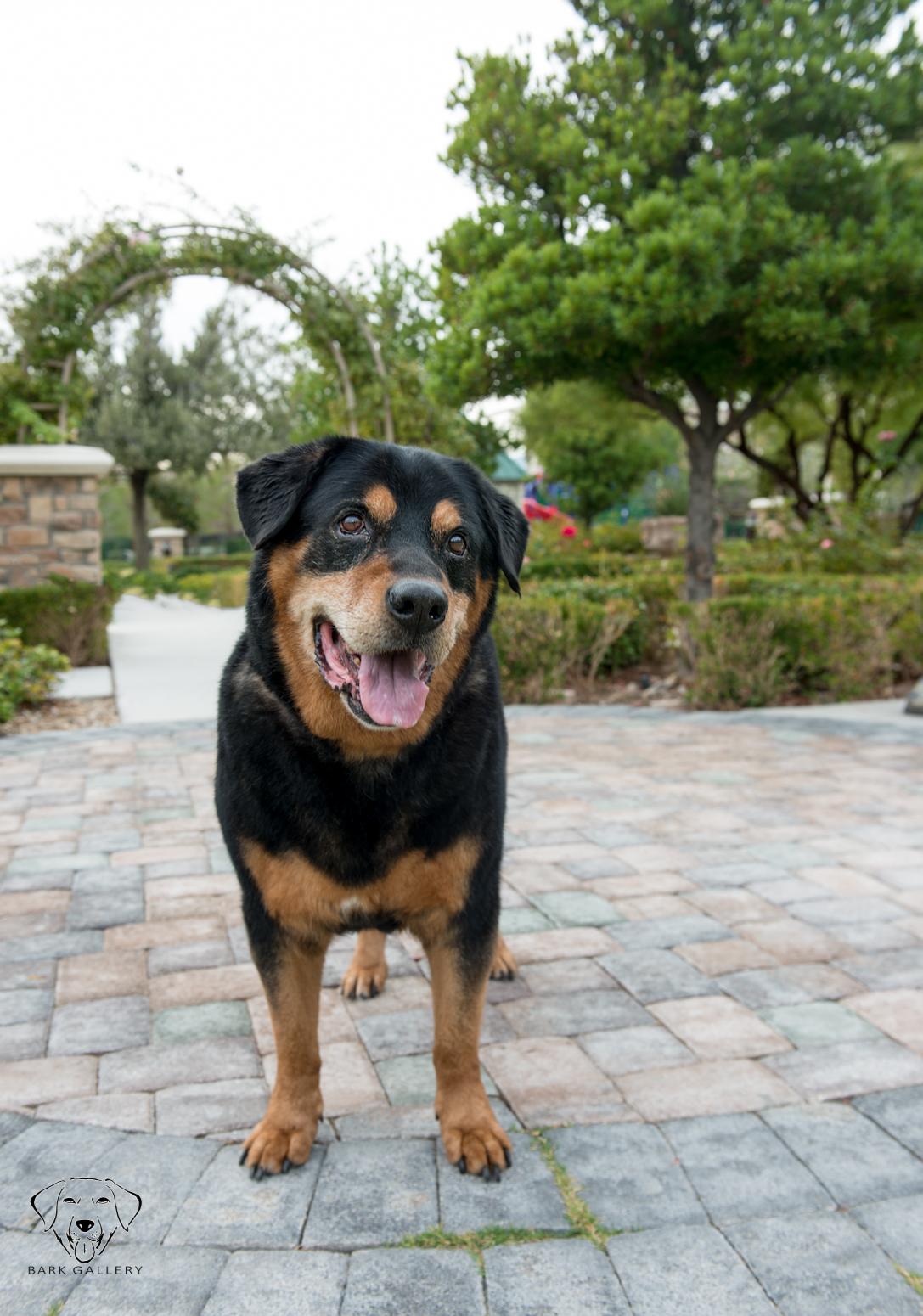 doggy-portrait-vegas-photographer-bark-gallery